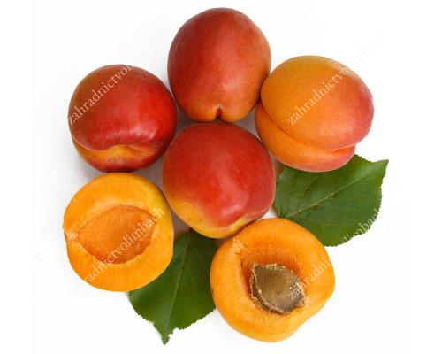 Aprikose (Prunus armeniaca) VIORICA