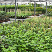 Fruit tree nursery Limbach