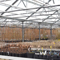 Potted fruit trees overwintering in greenhouse