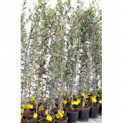 Winterharte Olivenbäume