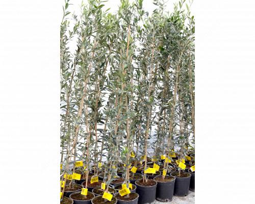 Mrazuvzdorná oliva (Olea europaea) Arbequina