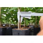 Hurmi Kaki (Diospyros virginiana) jednoročný semenáč