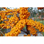 Sea buckthorn (Hippophae rhamnoides) ALTAYSKAYA Sweet Sea Berry