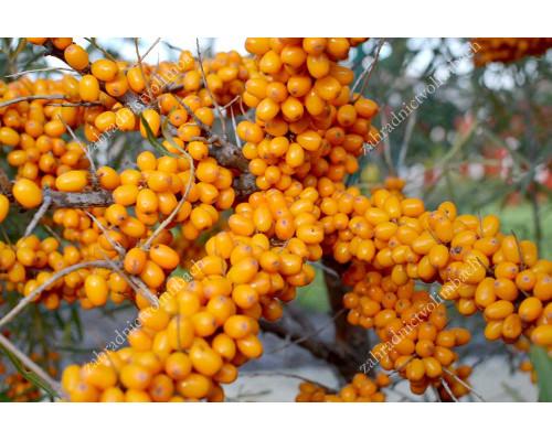 Sea buckthorn (Hippophae rhamnoides) ALTAYSKAYA Sweet Sea Berry