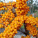 Sea buckthorn cultivation and chemical composition