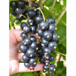 Ríbezľa čierna (Ribes nigrum) ČERNYJ BUMER®