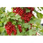 Ríbezľa červená (Ribes rubrum) DUŠEČKA® (stromček)