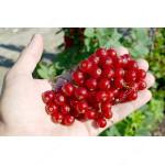 Rote Johannisbeere (Ribes rubrum) JONKHEER VAN TETS (Strauch)