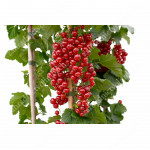 Red Currant ROLAN (shrub)