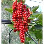 Rote Johannisbeere (Ribes rubrum) ROODNEUS® (Strauch)