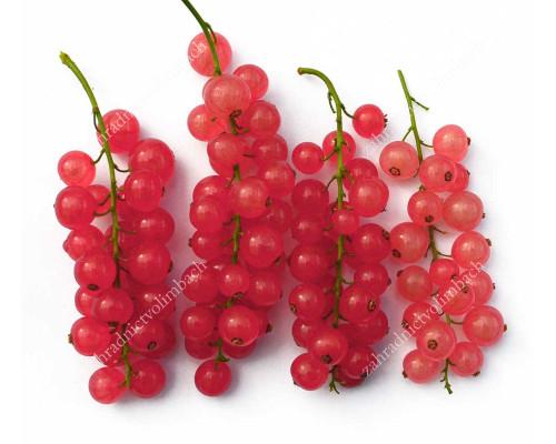 Red Currant (Ribes rubrum) ROSETTA (tree shape)