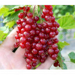 Rote Johannisbeere (Ribes rubrum) ROVADA (Strauch)