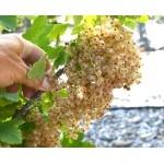 Weiße Johannisbeere (Ribes sativa) UMKA®