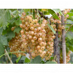 White Currant (Ribes sativa) UMKA®