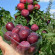 What is Russian plum, the history of origin and advantages in the cultivation