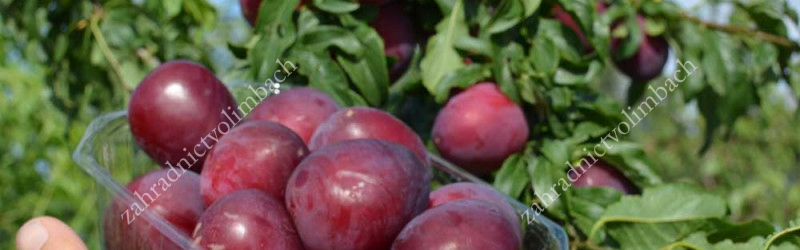 A history of hybrid Russian plum