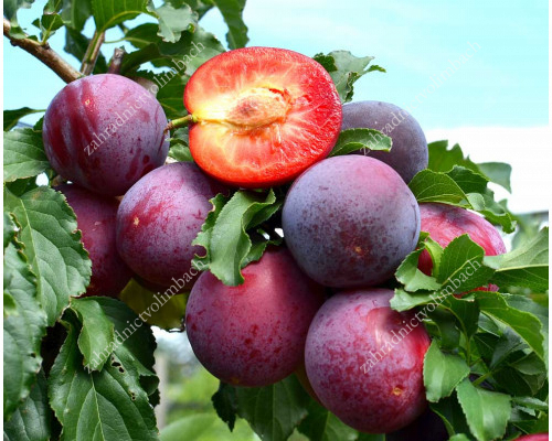 Russian Plum KOMETA - available from May 15