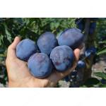 Pflaume (Prunus domestica) FIDELIA®