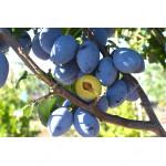 Säulenpflaume (Prunus domestica) FRUCA