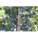 Plum FRUCA® - Columnar Tree