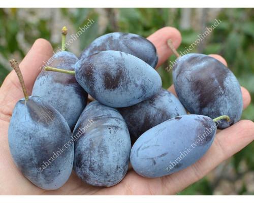 Slivka (Prunus domestica) JOFELA®