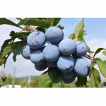 Pflaume (Prunus domestica) JOGANTA®