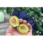 Slivka (Prunus domestica) JOJO®