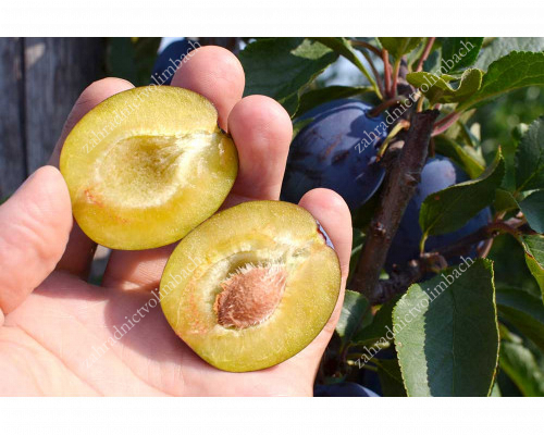 Slivka (Prunus domestica) JUNA®