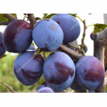 Slivka (Prunus domestica) ODA