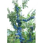 Pflaume (Prunus domestica) TOP® (Säulenform)