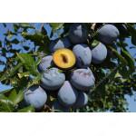 Pflaume (Prunus domestica) TOPHIT PLUS®