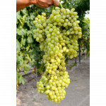 LORUS® Disease Resistant Seedless Table Grape Vine