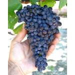 PAMYATI DOMBOVSKOY Disease Resistant Seedless Table Grape Vine