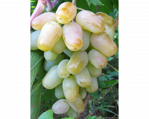 GORDEY Disease Resistant Table Grape Vine