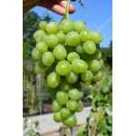 SUPER EXTRA Disease Resistant Table Grape Vine