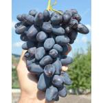 BAJKONUR Disease Resistant Table Grape Vine
