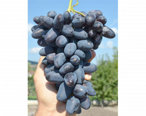 BAJKONUR Table Grape Vine