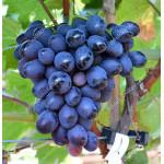 BOGATYR Disease Resistant Table Grape Vine