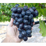 MATADOR Disease Resistant Table Grape Vine
