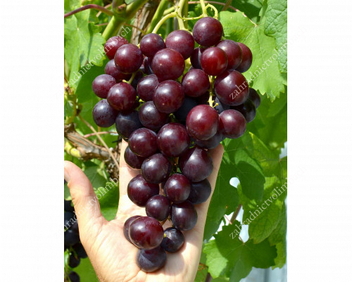 ALIBABA Table Grape Vine - available from June 15
