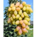 DIKSON Disease Resistant Table Grape Vine