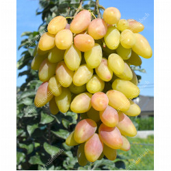 Mid Season Disease Resistant Table Grapes