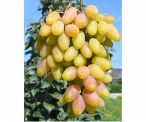 Mittelfrühe Pilzwiderstandsfähige Traubensorten