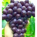 OLIMP rezistentný stolový vinič
