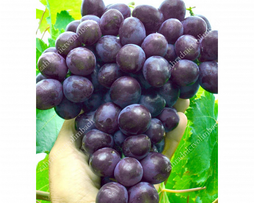 OLIMP Disease Resistant Table Grape Vine