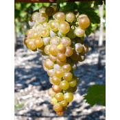 Rezistentné odrody viniča na výrobu vína