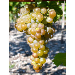 Pilzresistente Wein Rebsorten