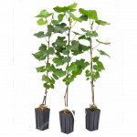 TALISMAN Disease Resistant Table Grape Vine