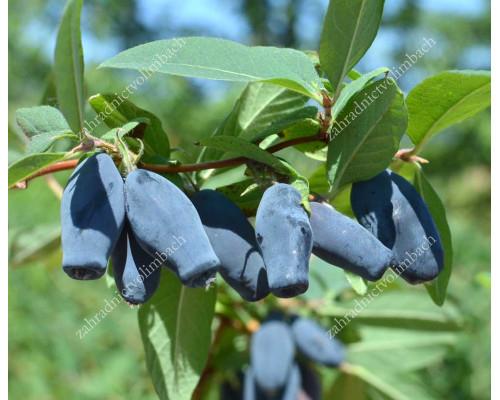 Blaubeere (Lonicera caerulea) DOTSCH VELIKANA®